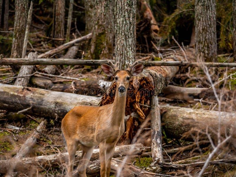 一只小伙子白尾鹿需要时间炫耀他易上镜头的质量 库存照片