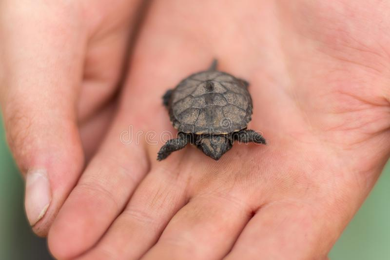 一只小新出生的乌龟在救她一位男性渔夫的胳膊坐 免版税库存图片