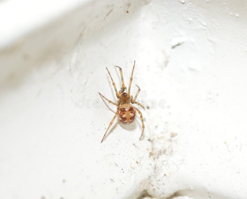 一只小棕色囊蜘蛛的宏观照片 库存图片