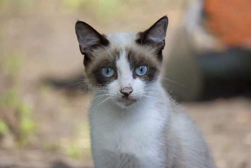 一只小白色猫的画象与一个黑暗的头和与美好的蓝眼睛看看照相机特写镜头 免版税库存图片