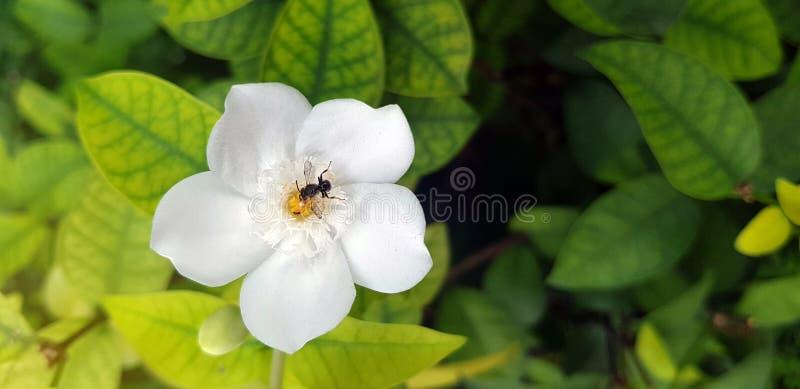 一只小的土蜂的特写镜头在一束美丽的白花的,白色 免版税库存图片