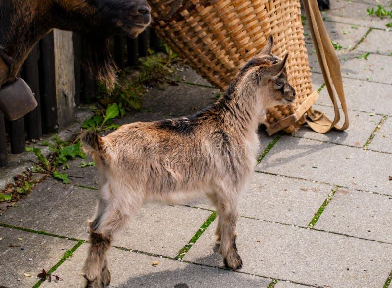 一只小的幼小山羊 库存图片