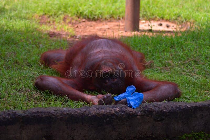 一只小的疲乏的猴子要睡觉 库存图片