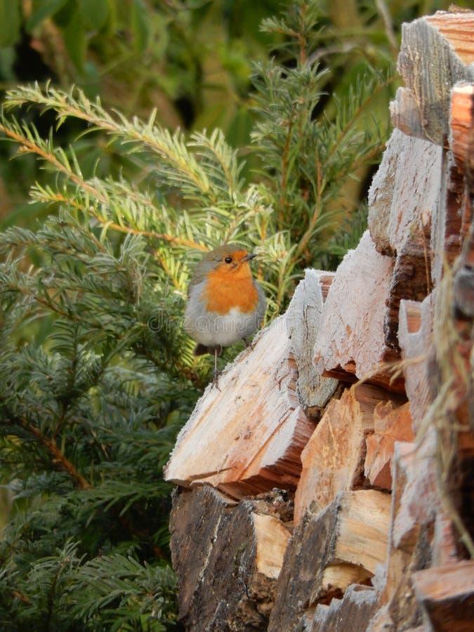 一只小的知更鸟鸟,当第一霜来 免版税图库摄影