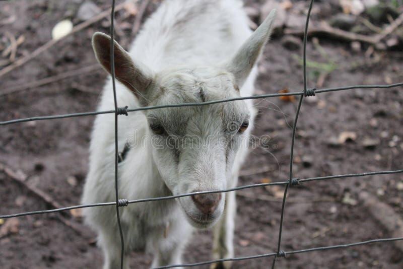一只小的绵羊 库存图片