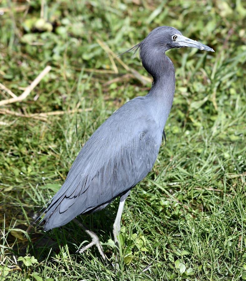 一只小的蓝色苍鹭#3 免版税图库摄影
