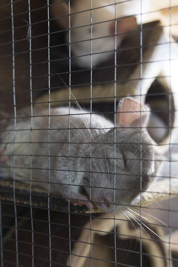 一只小的逗人喜爱的黄鼠在笼子平安地睡觉 免版税库存图片