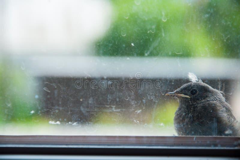 一只小的鸟坐窗台外面 肮脏的玻璃 免版税库存图片
