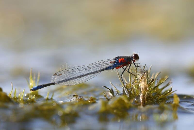 一只小红眼睛的蜻蜓坐河海藻 免版税库存图片