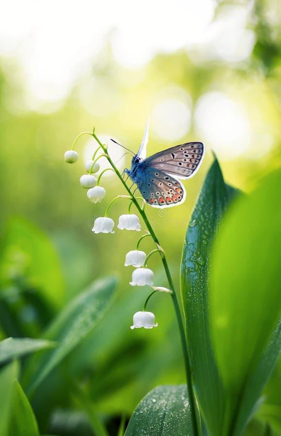 一只小蓝色蝴蝶坐在a的一朵白色精美百合花 免版税库存图片