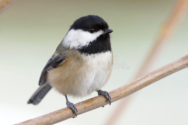 一只小逗人加盖的鸟叫黑冰冻的山雀怎么煎喜爱鳕鱼块不烂图片