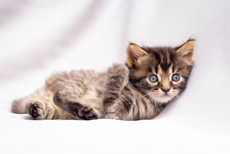 一只小镶边小猫在白色说谎善良和休息 免版税图库摄影