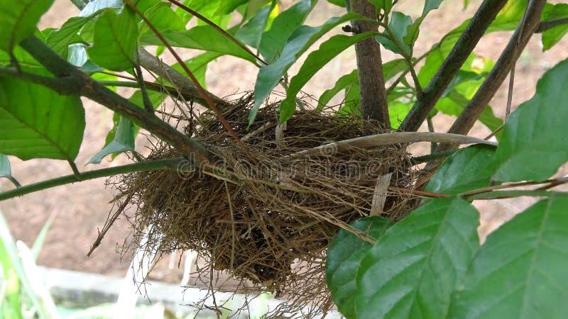 一只小鸟修造了它的在我种植的一棵小果实树的巢 免版税库存图片