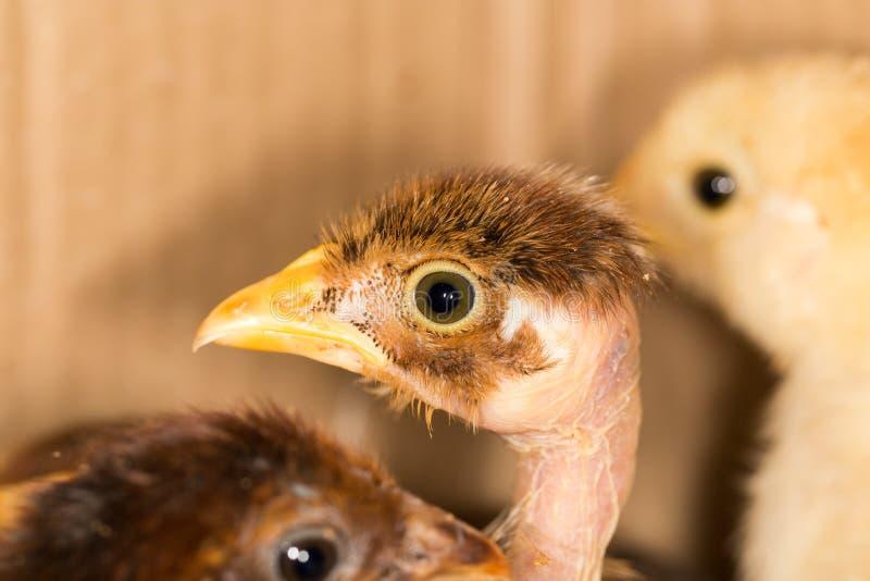 一只小鸡的画象 库存图片