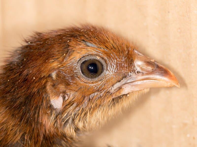 一只小鸡的画象 免版税库存照片