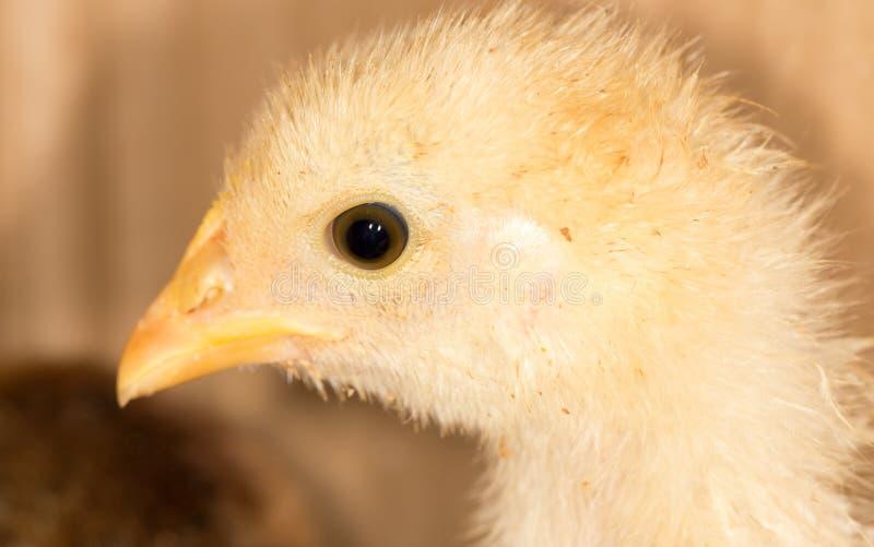 一只小鸡的画象 图库摄影