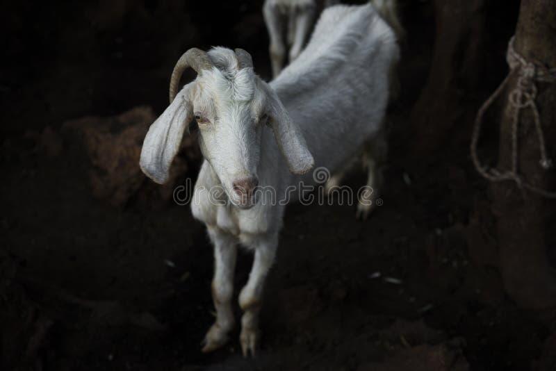 Download 一只山羊在晚上 库存照片. 图片 包括有 挤奶, 驯化, 准备好, 山羊, 通配, 垫铁, 山羊属, 火鸡 - 62533620