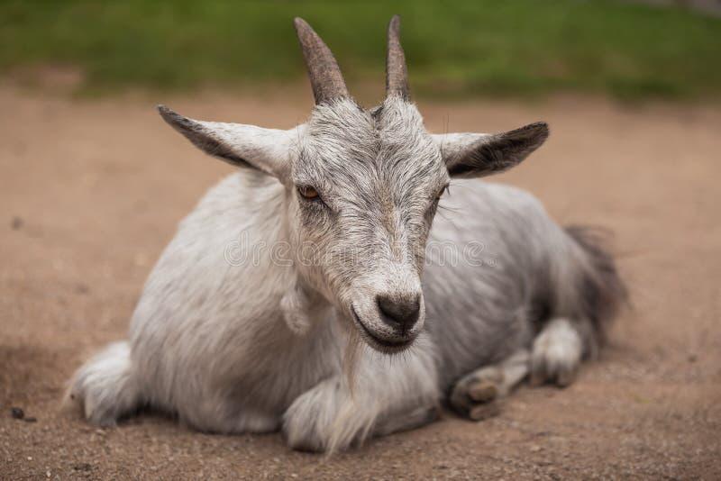 一只山羊的画象在农场的 免版税库存照片
