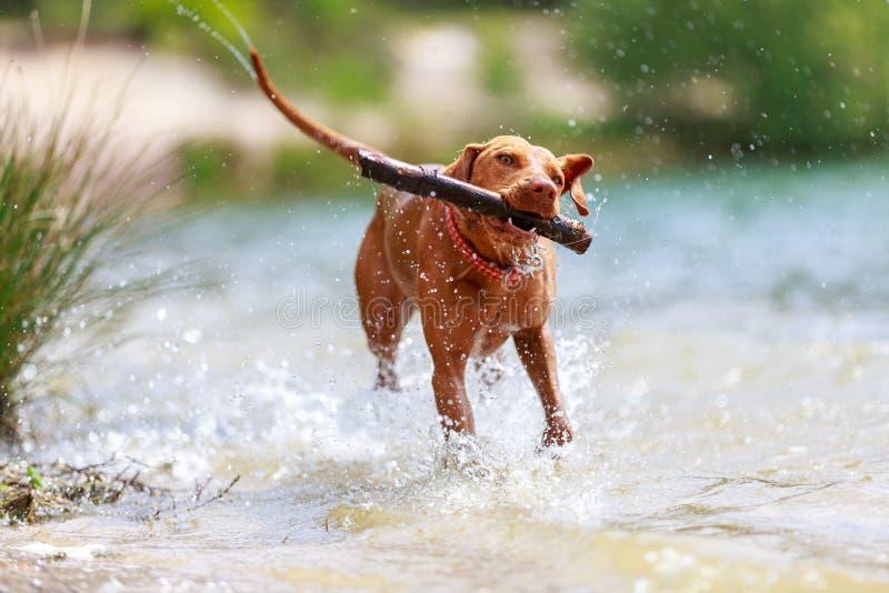 一只年轻的马焦亚·维斯拉狗的画像 免版税库存图片