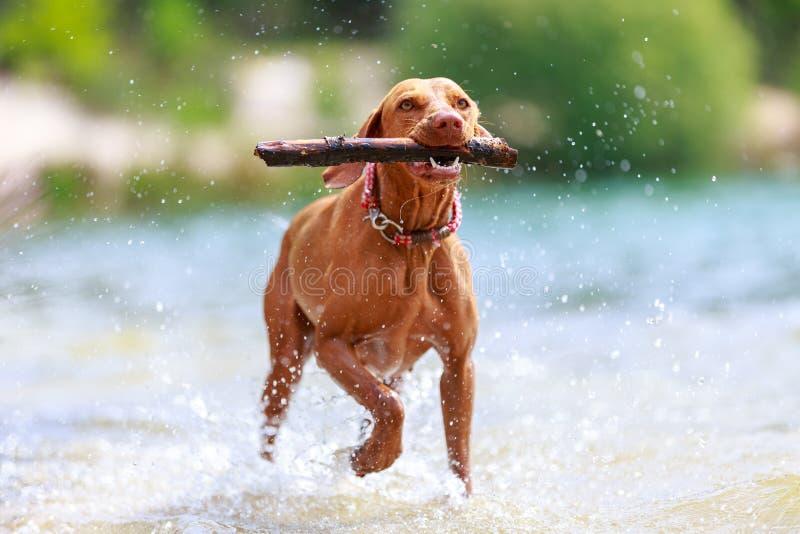 一只年轻的马焦亚·维斯拉狗的画像 免版税库存照片