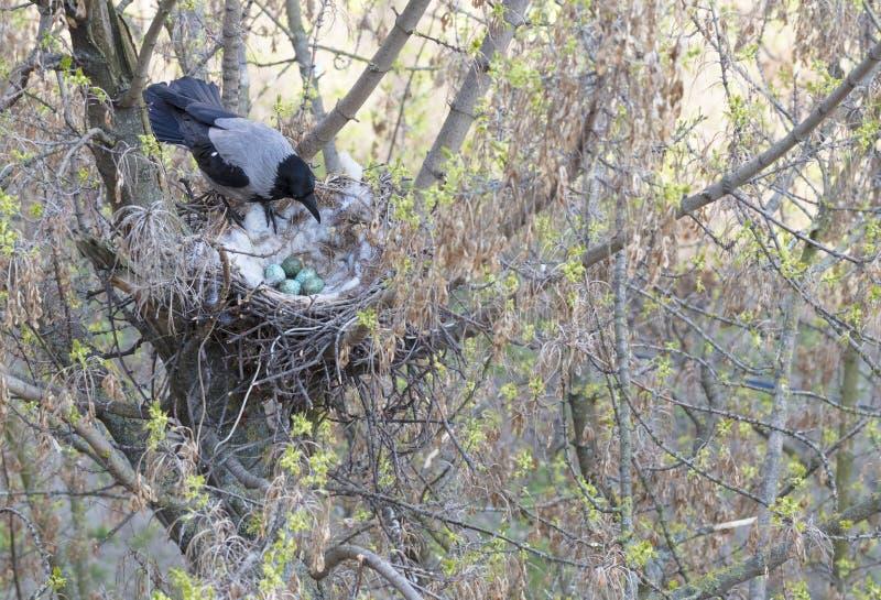 一只幼小乌鸦看他的在巢的被投入的鸡蛋 库存图片