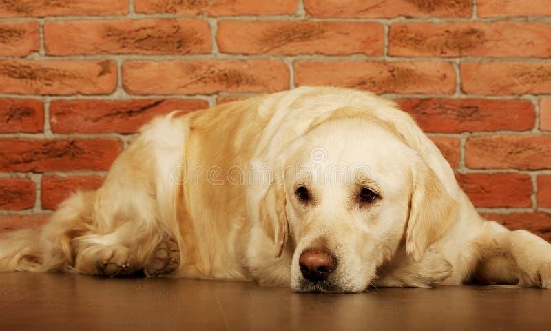 幼黄_一只幼小公拉布拉多猎犬的画象