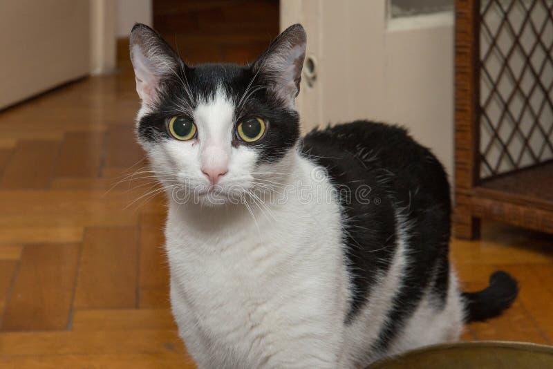 一只幼小公黑白色的猫 免版税库存图片
