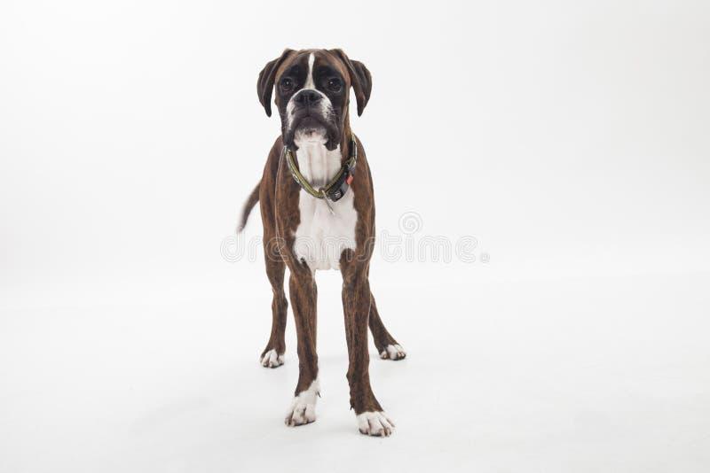 一只幼小和美丽的拳击手小狗 库存照片