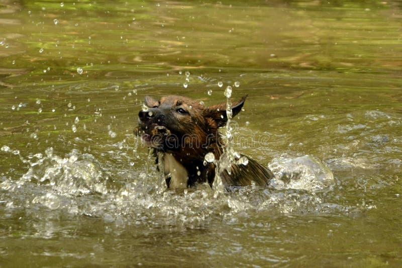 一只幼小小狗充当池塘 库存图片
