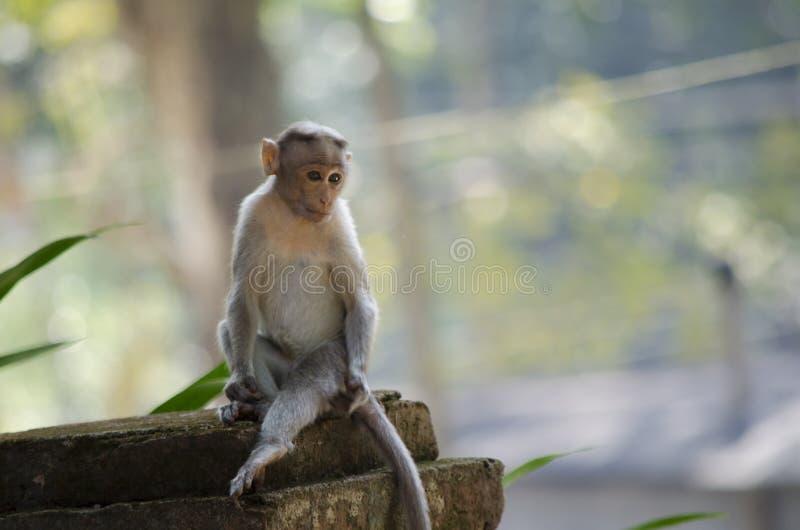 一只幼小帽子短尾猿猴子的图象的关闭 库存图片