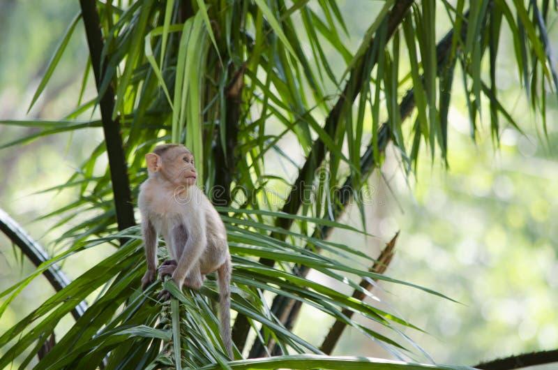 一只幼小帽子短尾猿猴子的图象的关闭 免版税库存图片