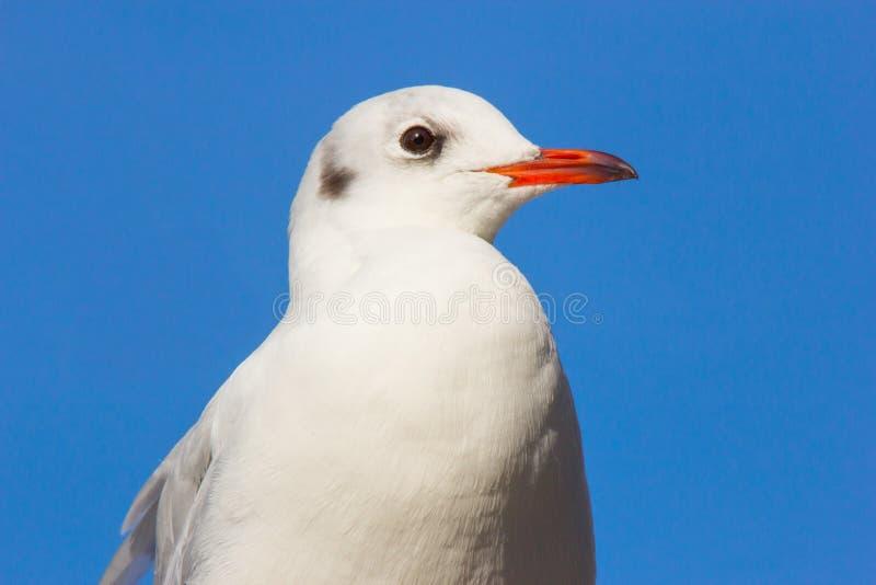 一只幼小海鸥的画象 免版税库存图片