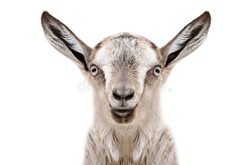 一只幼小灰色山羊的画象 免版税库存图片