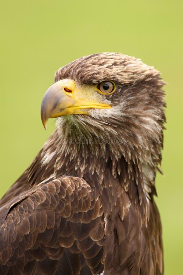 一只幼小白头鹰的纵向 库存照片