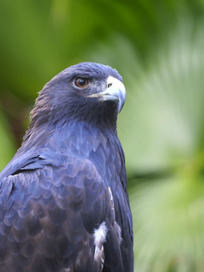 一只幼小白头鹰的纵向 免版税库存图片
