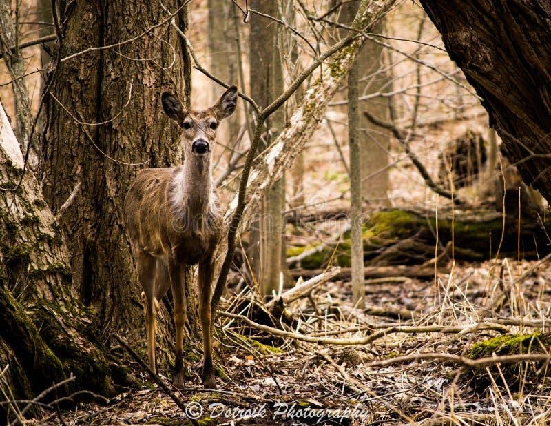一只幼小白尾鹿。 免版税库存照片
