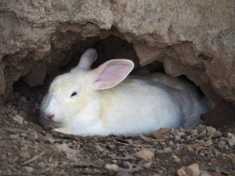 一只幼小白色兔子在洞穴 免版税库存照片