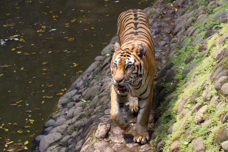 一只幼小苏门答腊老虎的图片 免版税图库摄影