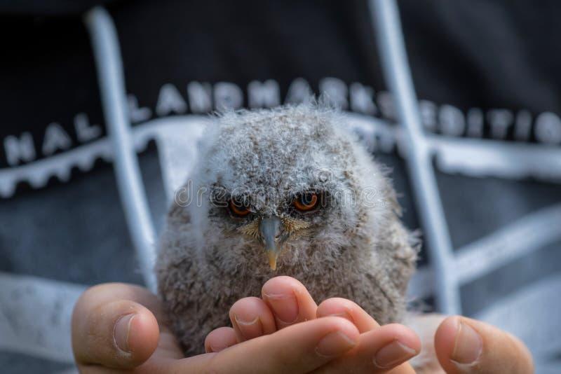 一只幼小逗人喜爱的小猫头鹰 免版税库存图片