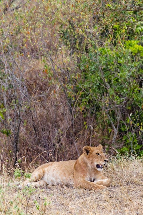 一只幼小雌狮的画象在厚实的灌木马塞人玛拉的 肯尼亚,非洲 图库摄影