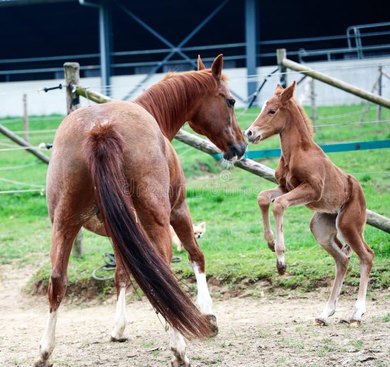 一只幼小驹和她母亲使用 库存图片