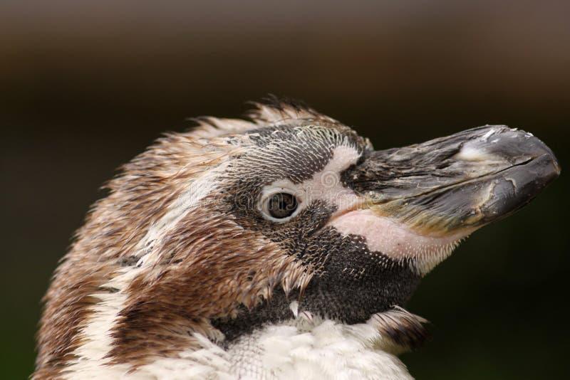 一只幼小Humboldt企鹅的纵向 免版税库存图片