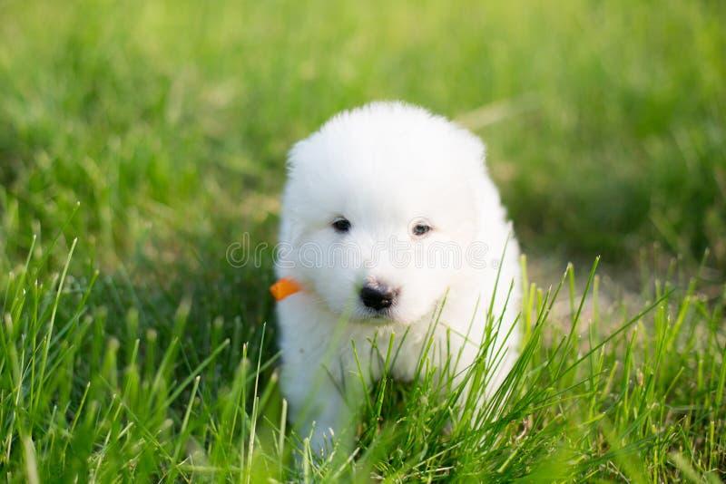 一只幼小maremma护羊狗的画象外面在夏天 库存照片