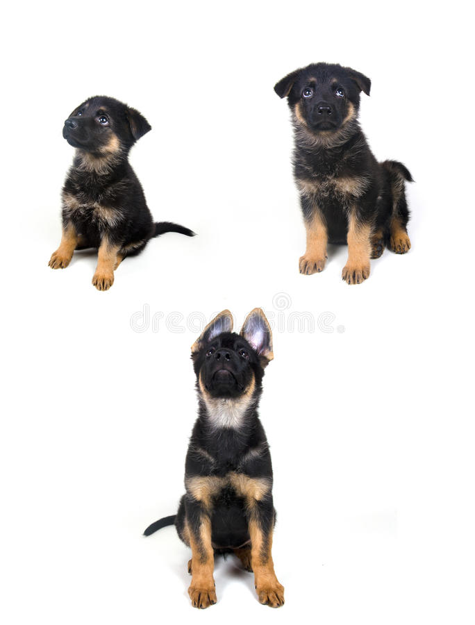 一只德国牧羊犬小狗的成长 免版税库存图片