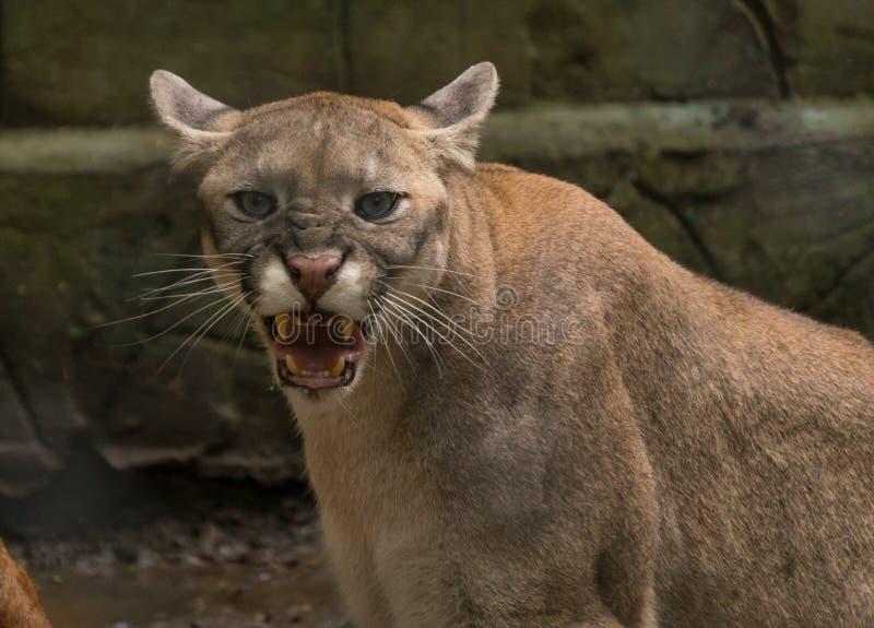 一只恼怒的咆哮美洲狮美洲狮看我 免版税库存照片