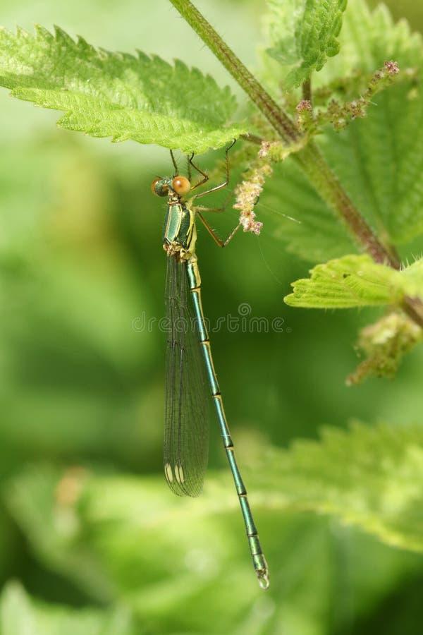 一只惊人的罕见的杨柳鲜绿色蜻蜓,Chalcolestes viridis,栖息在一棵刺人的荨麻植物 免版税库存照片