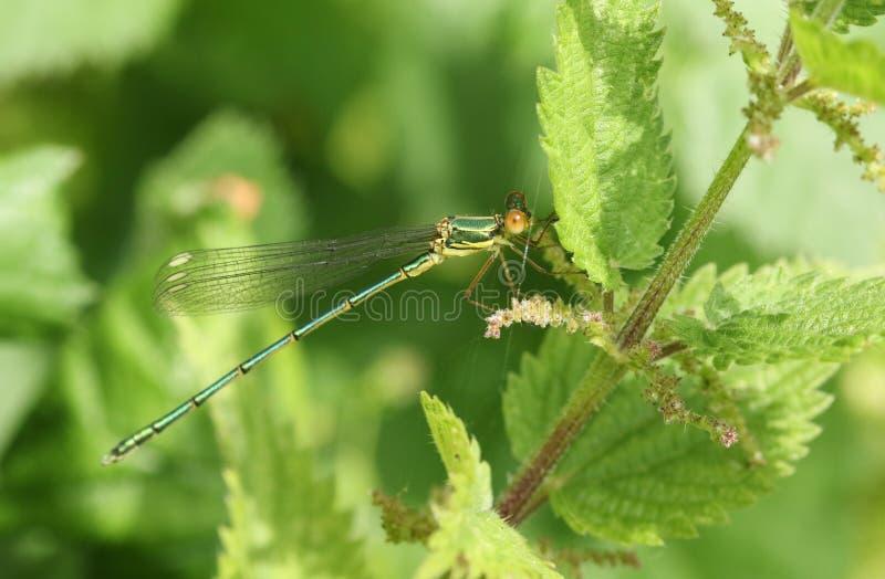 一只惊人的罕见的杨柳鲜绿色蜻蜓,Chalcolestes viridis,栖息在一棵刺人的荨麻植物 图库摄影