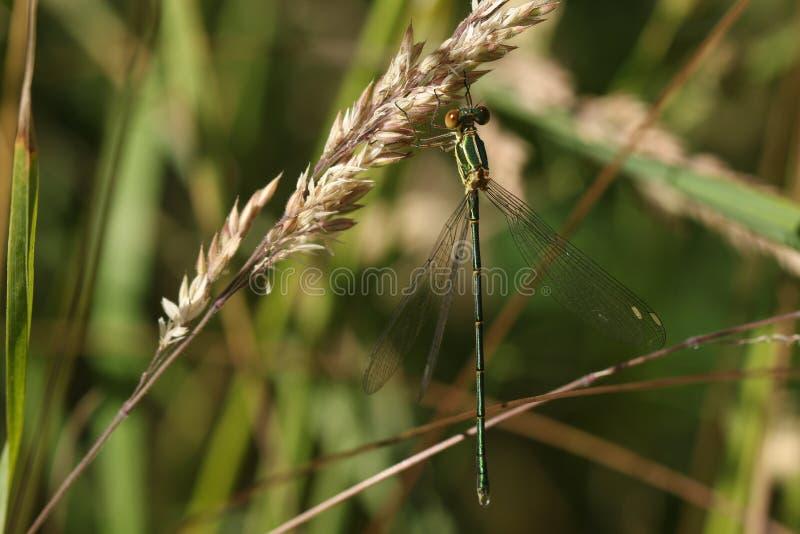 一只惊人的罕见的杨柳鲜绿色蜻蜓,Chalcolestes viridis,栖息在草种子在湖的边缘 免版税库存照片