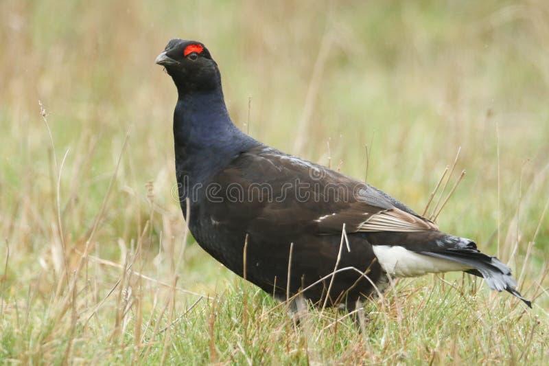 一只惊人的罕见的男性黑松鸡,北欧产雷鸟类tetrix,哺养在停泊达翰姆,英国 免版税库存照片