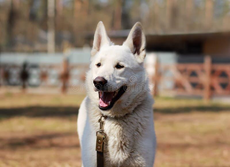一只愉快的白色瑞士牧羊犬的画象与它的舌头的户外在漫步在晴朗的公园 图库摄影